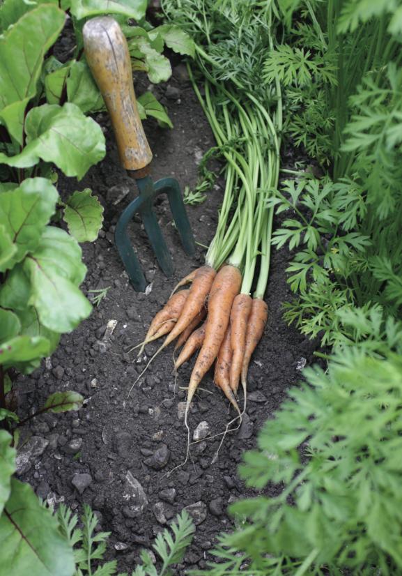 Crops in Pots, carrots