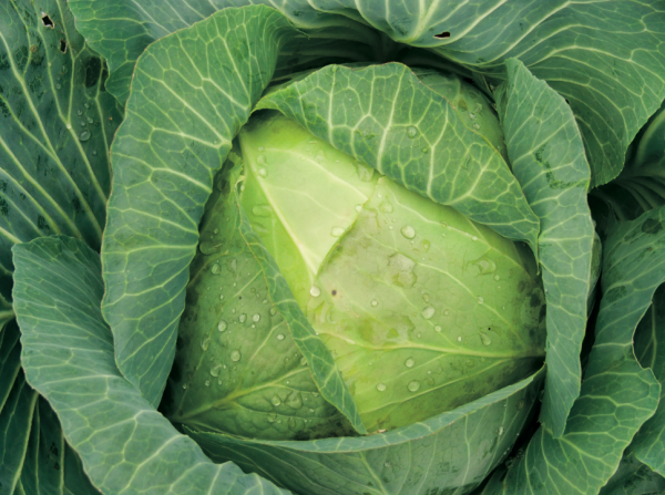 Crops in Pots, cabbage