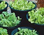 Crops in pots leafy