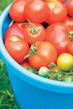 Crops in pots tomatoes